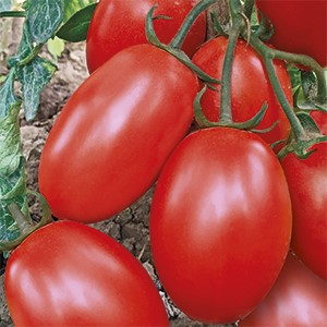 Vrtnarstvo Breskvar - Solanum lycopersicum Cencara F1