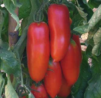 Vrtnarstvo Breskvar - Solanum lycopersicum Corsaro F1