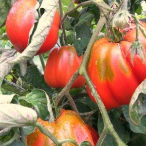 Vrtnarstvo Breskvar - Solanum lycopersicum Cour Di Bue D'Albenga