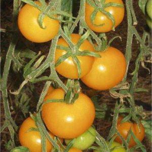 Vrtnarstvo Breskvar - Solanum lycopersicum Goldene Konigin