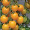 Vrtnarstvo Breskvar - Solanum lycopersicum Goldkrone