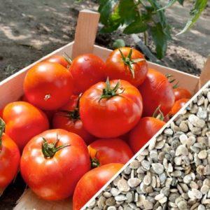 Vrtnarstvo Breskvar - Solanum lycopersicum Homestead F1