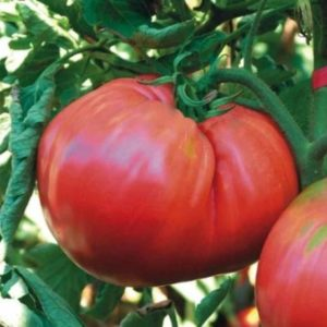 Vrtnarstvo Breskvar - Solanum lycopersicum Novosadski jabučar