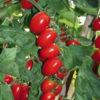 Vrtnarstvo Breskvar - Solanum lycopersicum Pandorino F1