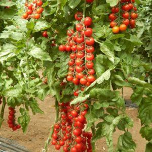 Vrtnarstvo Breskvar - Solanum lycopersicum Prezioso F1