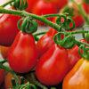 Vrtnarstvo Breskvar - Solanum lycopersicum Red Pear