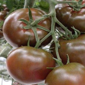 Vrtnarstvo Breskvar - Solanum lycopersicum Sacher F1