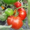 Vrtnarstvo Breskvar - Solanum lycopersicum Saint Pierre