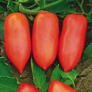 Vrtnarstvo Breskvar - Solanum lycopersicum Sibari F1