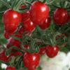 Vrtnarstvo Breskvar - Solanum lycopersicum Sungrape