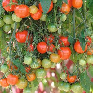 Vrtnarstvo Breskvar - Solanum lycopersicum Tumbling Tom