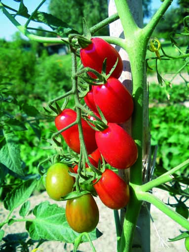 Vrtnarstvo Breskvar - Solanum lycopersicum Valido F1