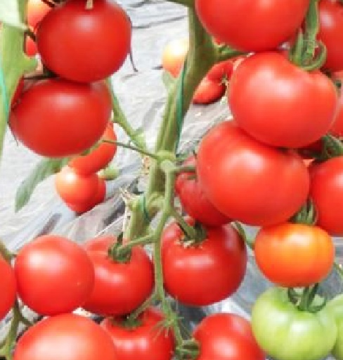 Vrtnarstvo Breskvar - Solanum lycopersicum Venezia F1