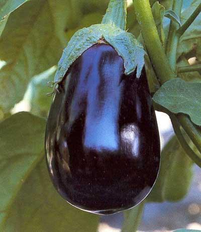 Vrtnarstvo Breskvar - Solanum melongena Rondona F1