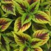Vrtnarstvo Breskvar - Solenostemon scutellarioides