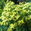 Vrtnarstvo Breskvar - Solidaster luteus