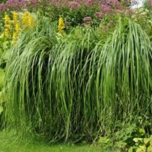 Vrtnarstvo Breskvar - Spartina pectinata aureomarginata