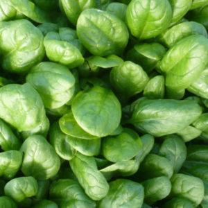 Vrtnarstvo Breskvar - Spinacia oleracea Rembour F1