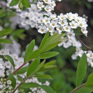 Vrtnarstvo Breskvar - Spiraea arguta