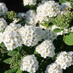 Vrtnarstvo Breskvar - Spiraea betulifolia Tor