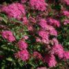 Vrtnarstvo Breskvar - Spiraea bumalda Anthony Waterer