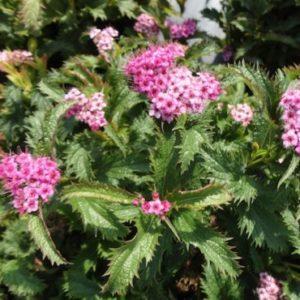 Vrtnarstvo Breskvar - Spiraea bumalda Crispa