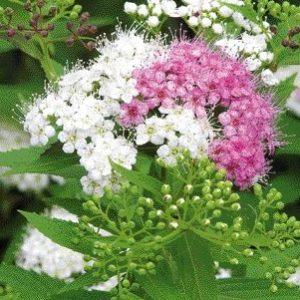 Vrtnarstvo Breskvar - Spiraea japonica Genpei