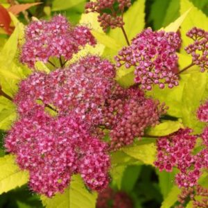 Vrtnarstvo Breskvar - Spiraea japonica Gold Flame