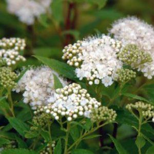 Vrtnarstvo Breskvar - Spiraea nipponica Albiflora