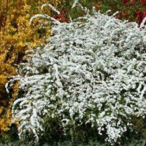 Vrtnarstvo Breskvar - Spiraea nipponica Halward's Silver
