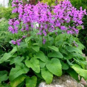 Vrtnarstvo Breskvar - Stachys grandiflora Superba