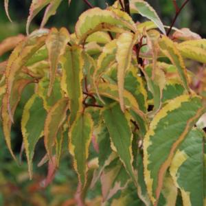 Stachyurus chinensis Joy for Ever - Vrtnarstvo Breskvar