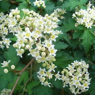 Vrtnarstvo Breskvar - Stephanandra incisa Crispa