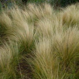 Vrtnarstvo Breskvar - Stipa tenuissima (Mexican feather grass)