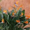 Vrtnarstvo Breskvar - Strelitzia reginae