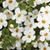 Vrtnarstvo Breskvar - Sutera diffusus