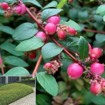 Vrtnarstvo Breskvar - Symphoricarpos chenaultii Hancock