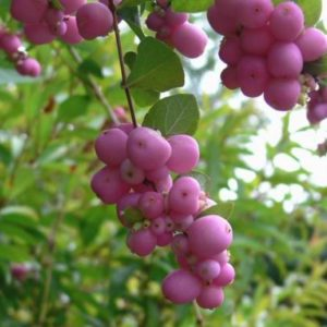 Vrtnarstvo Breskvar - Symphoricarpos doorenbosii Magic Berry
