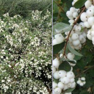 Vrtnarstvo Breskvar - Symphoricarpos White Hedge
