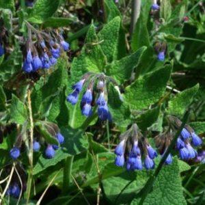Vrtnarstvo Breskvar - Symphytum grandiforum Blaue Glocken