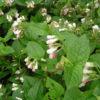 Vrtnarstvo Breskvar - Symphytum grandiflorum