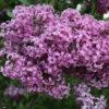 Vrtnarstvo Breskvar - Syringa chinensis Saugeana