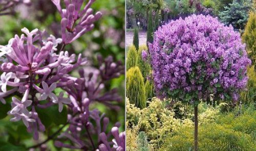 Vrtnarstvo Breskvar - Syringa meyeri Palibin