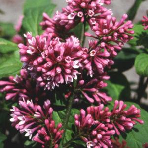 Vrtnarstvo Breskvar - Syringa prestoniae Red Wine