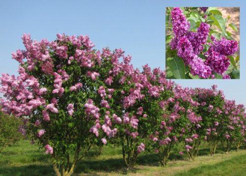 Vrtnarstvo Breskvar - Syringa vulgaris Charles Joly