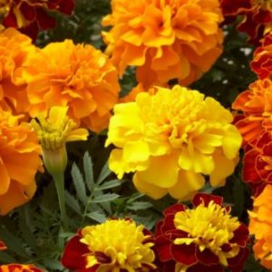Vrtnarstvo Breskvar - Tagetes