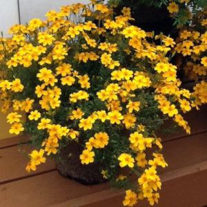 Vrtnarstvo Breskvar - Tagetes Gold Medal