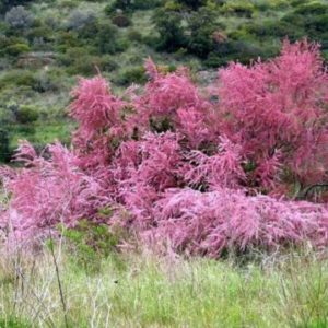 Vrtnarstvo Breskvar - Tamarix parviflora