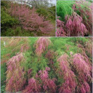 Vrtnarstvo Breskvar - Tamarix ramosissima