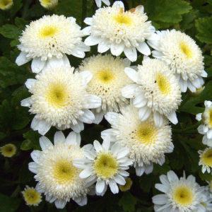 Vrtnarstvo Breskvar - Tanacetum parthenium
